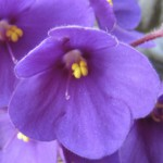 African Violets Cropped