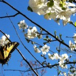 butterfly cherry tree
