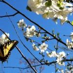 butterfly cherry tree