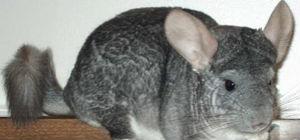 chinchilla 5.jpg