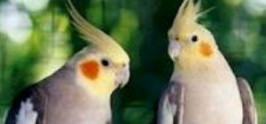 cockatiel 1.jpeg