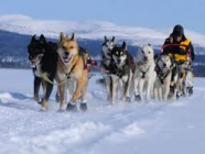 Sled dogs running