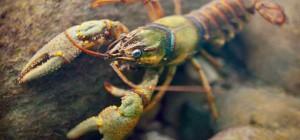 Crayfish Pixlr 2