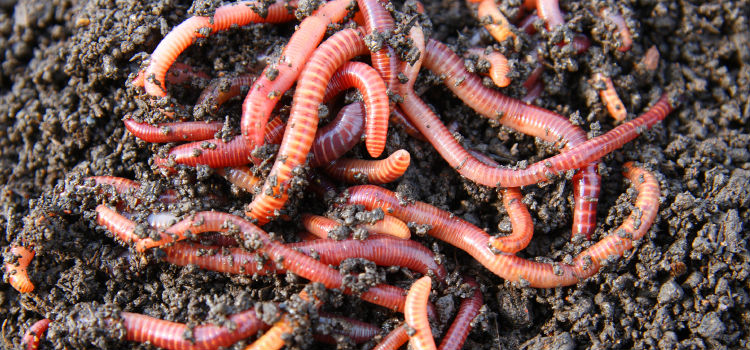 Pixlr red-worms-in-compost