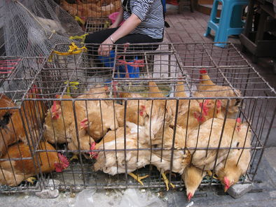 market-street-chickens-photo