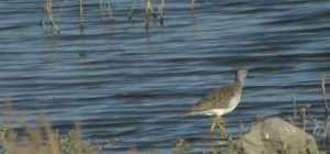 Yellowlegs fall Cheyenne Bottoms