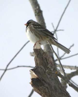 Harris's Sparrow3