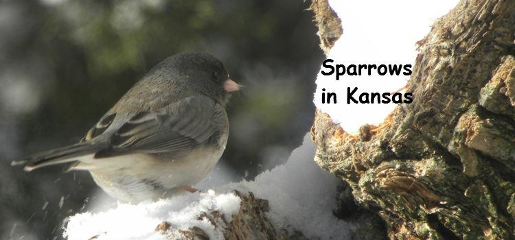 sparrows in kansas