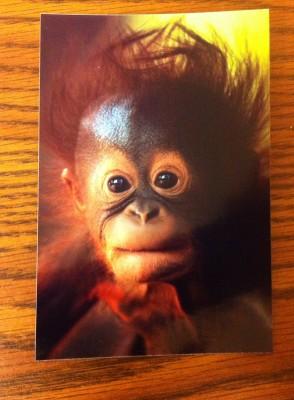 Bumi Bornean Orangutan
