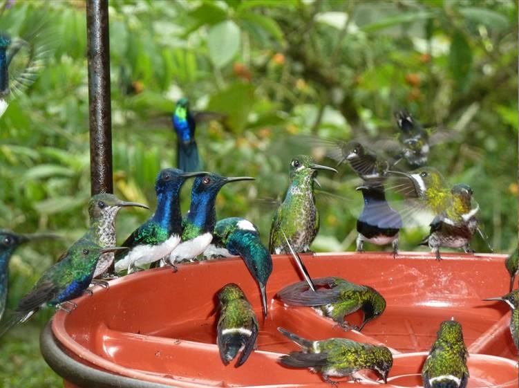 Ecuador birds Gearheart