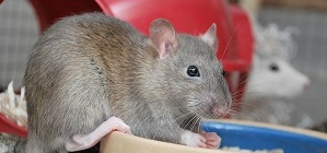 Rats make great pets! (image courtesy Wikimedia Commons)