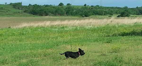 Scotty Dog running in open field