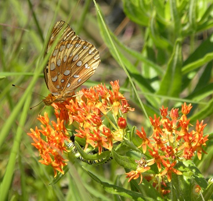 Great Spangled Fritillary with Monarch Caterpillar on Butterfly Milkweed