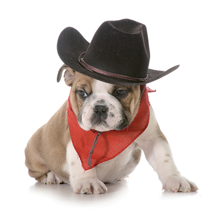 bulldog in cowboy outfit