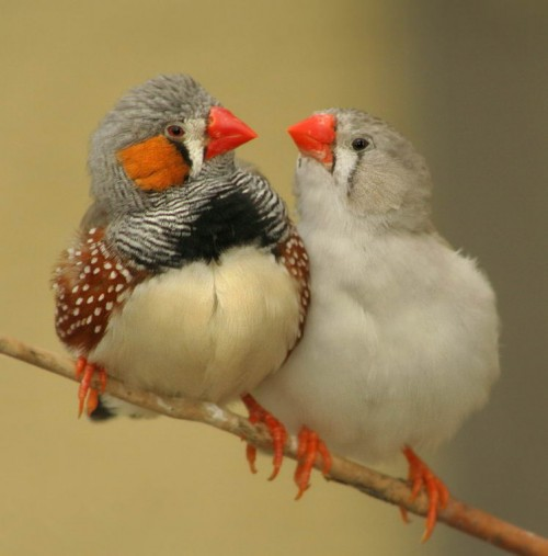 Image from http://australianfinches.com
