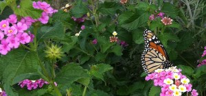 garden with monarch butterfly