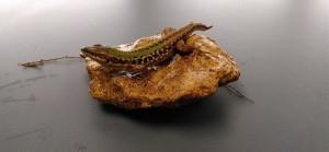 lizard 1