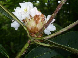 GSMNP - flower