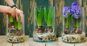 forcing-hyacinths-indoors