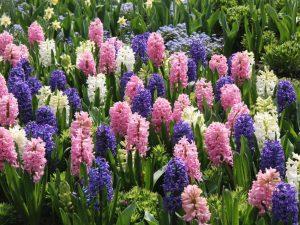 hyacinth-flower_s4x3_jpg_rend_hgtvcom_1280_960