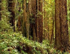 Redwoods along Prairie Creek