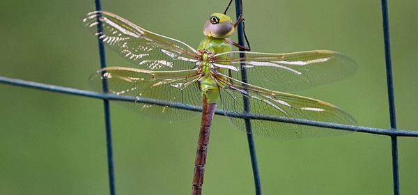 Green Darner Dragonfly