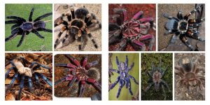 tarantulas of many sizes and colors